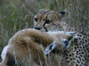 cheetah-killing-tommie