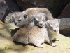 mara-triangle-hyraxes