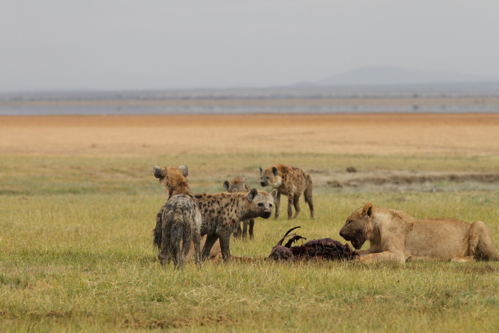 Lions and spotted hyenas feed on a wildebeest nex to the dry bed of Lake Amboseli, outside of Amboseli National Park.