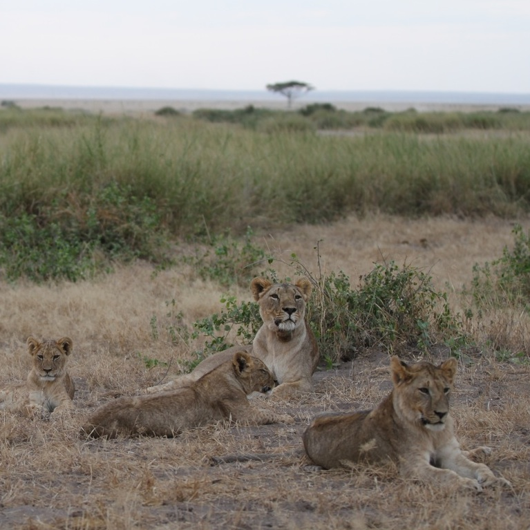 The kitirua pride of lions on the edge of Amboseli National Park. Note the radio collar on the adult female, whose name is Willy.